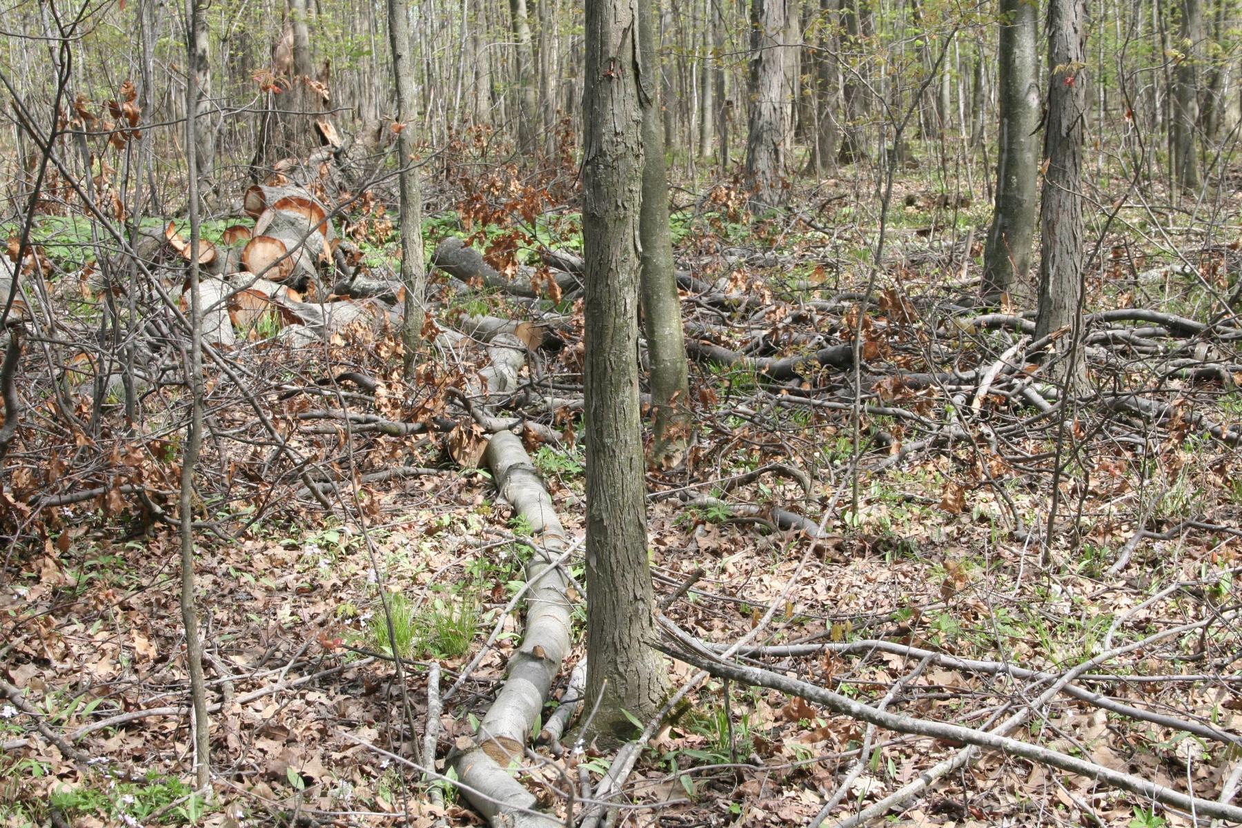 Fallen Pin Oak tallest in the woodland
