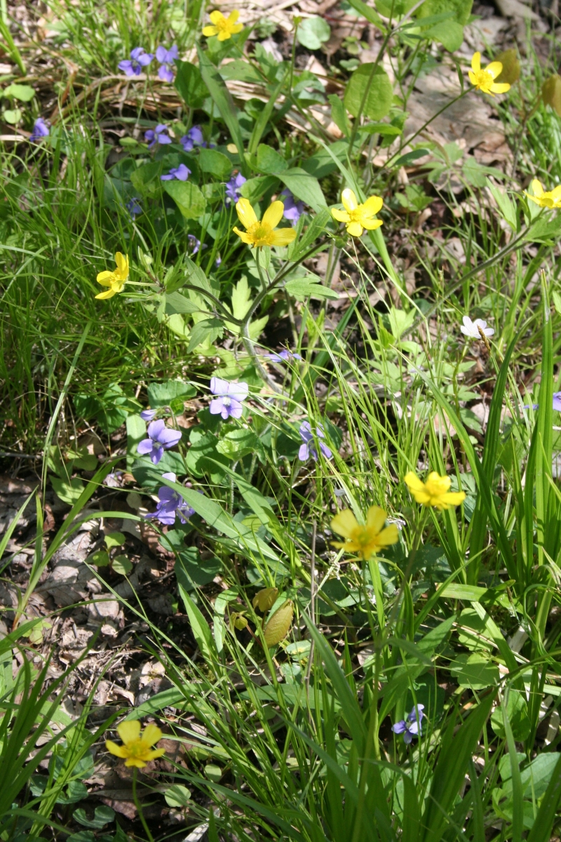 Violets buttercups and sedges