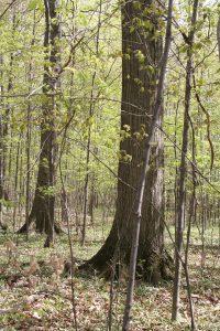 Shumard Oak webonly